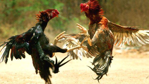 cock-fight