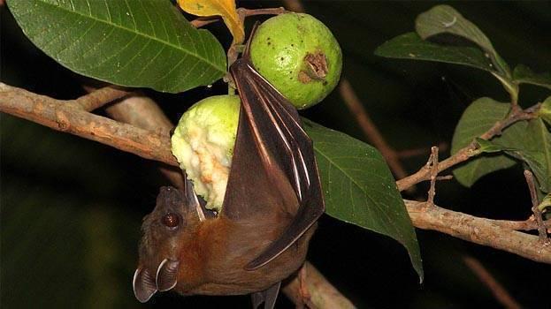 原来,美国人早就吃过蝙蝠