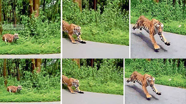 Video of a tiger chasing a biker goes viral - KERALA