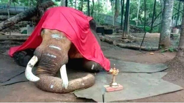 Male ♂ Asian elephant Cherpulassery Neelakandan at Sunil Kumar P