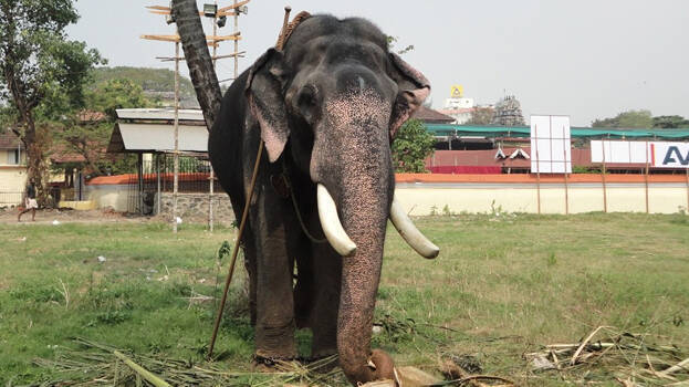 Male ♂ Asian elephant Ramachandran at Cochin Devaswom