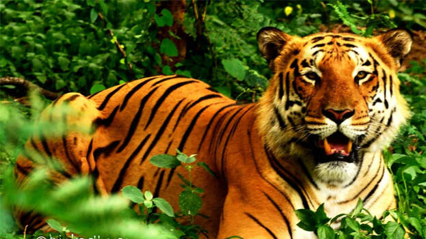 Tiger attack in Karnataka: 8-year-old boy mauled to death by a tige, declared as a 'man-eater', in Karnataka.
