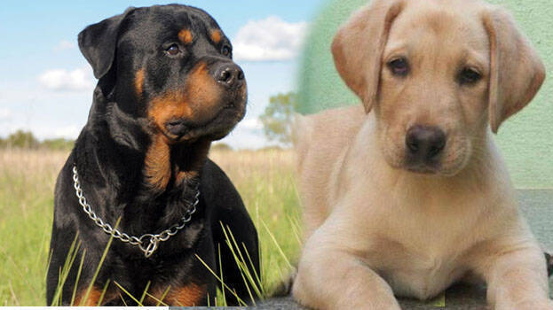 Puppies In High Demand During Covid Times Many In Waiting List Even After Willing To Pay High Price Kerala General Kerala Kaumudi Online